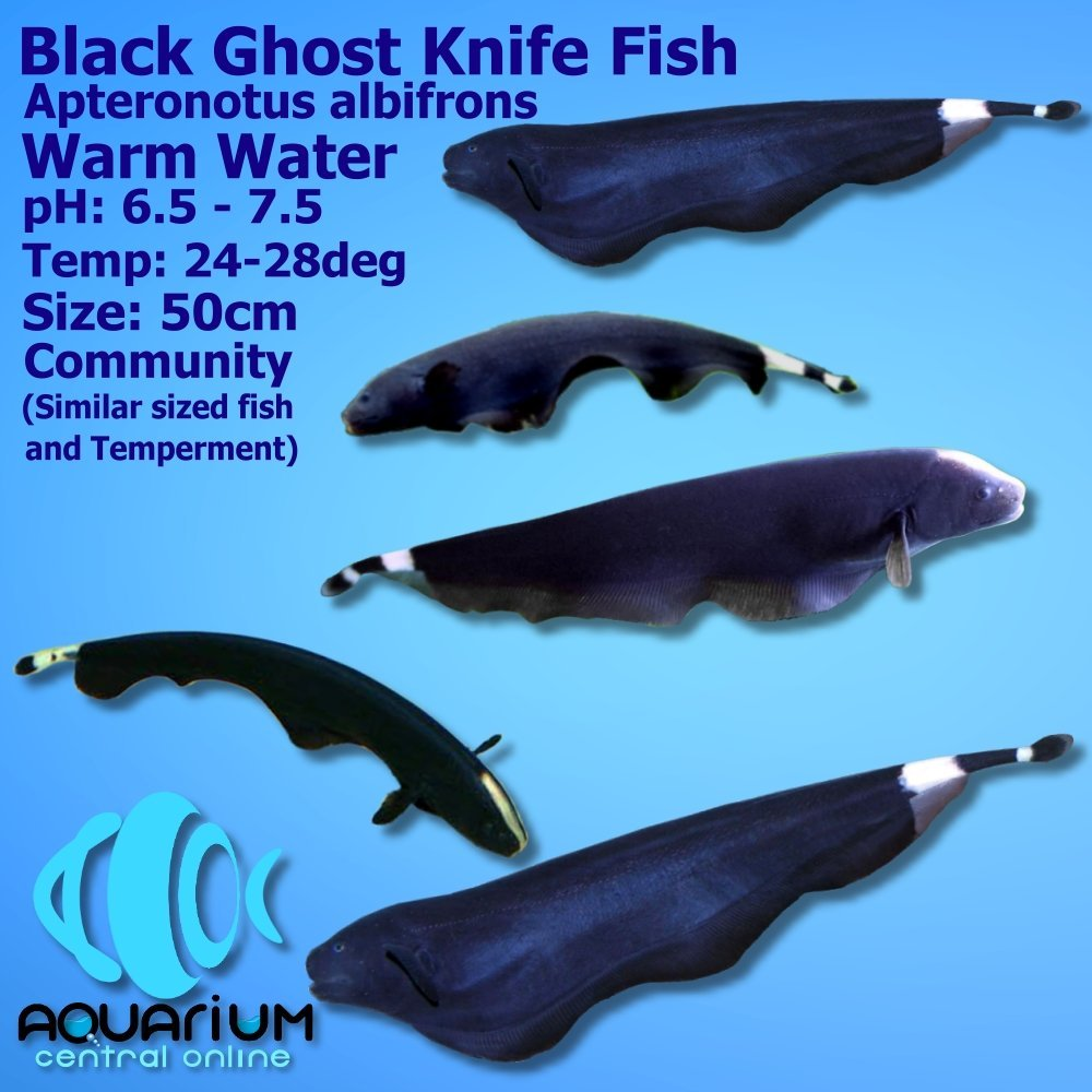Black Ghost Knifefish 6cm Aquarium Central