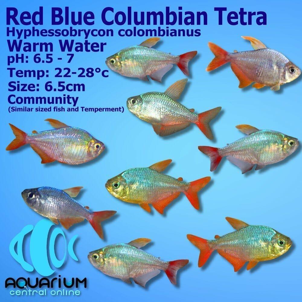 Red Blue Columbian Tetra Hyphessobrycon Columbianus 3cm Aquarium Central