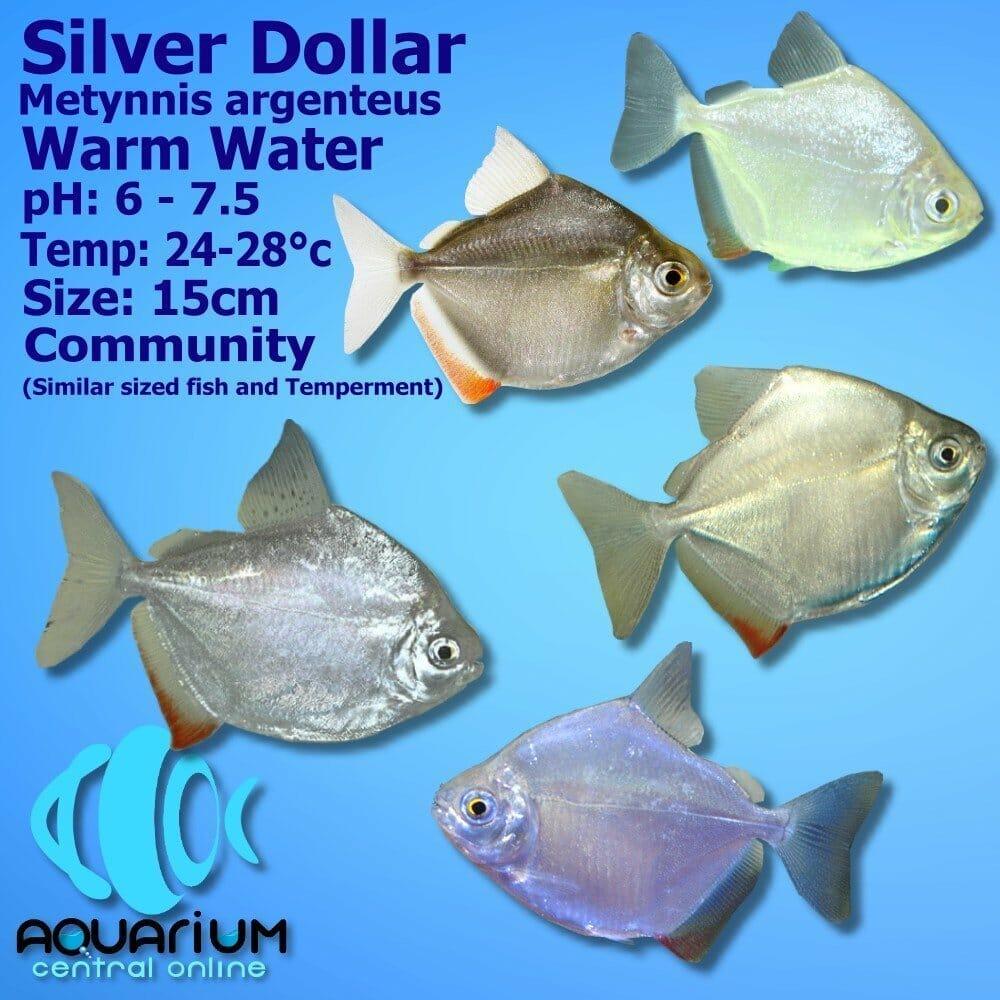 Silver Dollar Metynnis Argenteus 5cm Aquarium Central