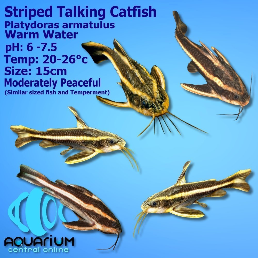 Striped Talking Catfish Platydoras Armatulus 5cm Also Known As Striped Raphael Catfish Aquarium Central