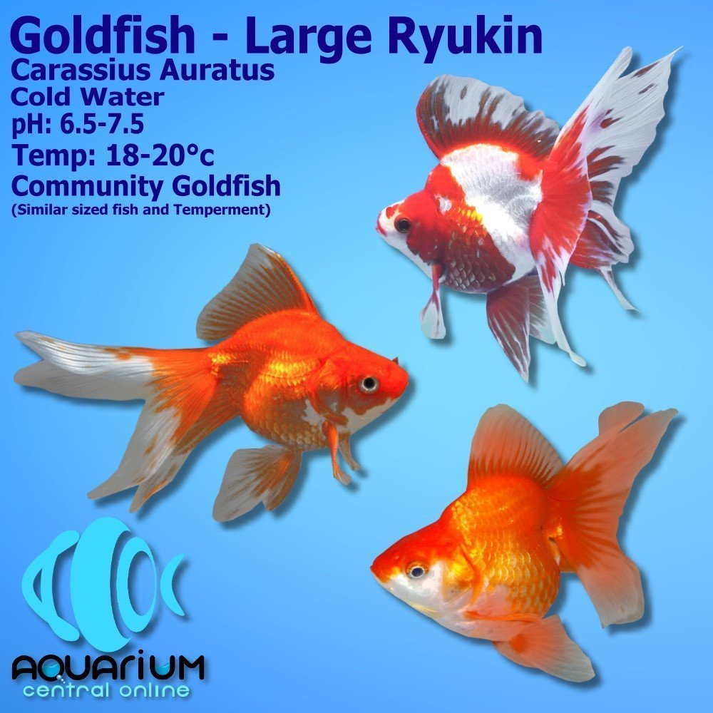 Goldfish Large Assorted Ryukin Carassius Auratus 12cm