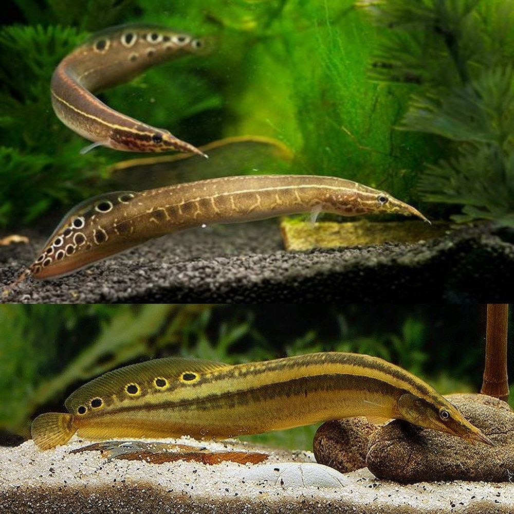 peacock eel peacock eel size peacock eel for sale peacock eel care peacock eel tank size peacock spiny eel peacock eel food peacock eel diet peacock eel with cichlids striped peacock eel peacock eel full size peacock eel fish peacock eel full grown freshwater peacock eel full grown peacock eel peacock eel price baby peacock eel