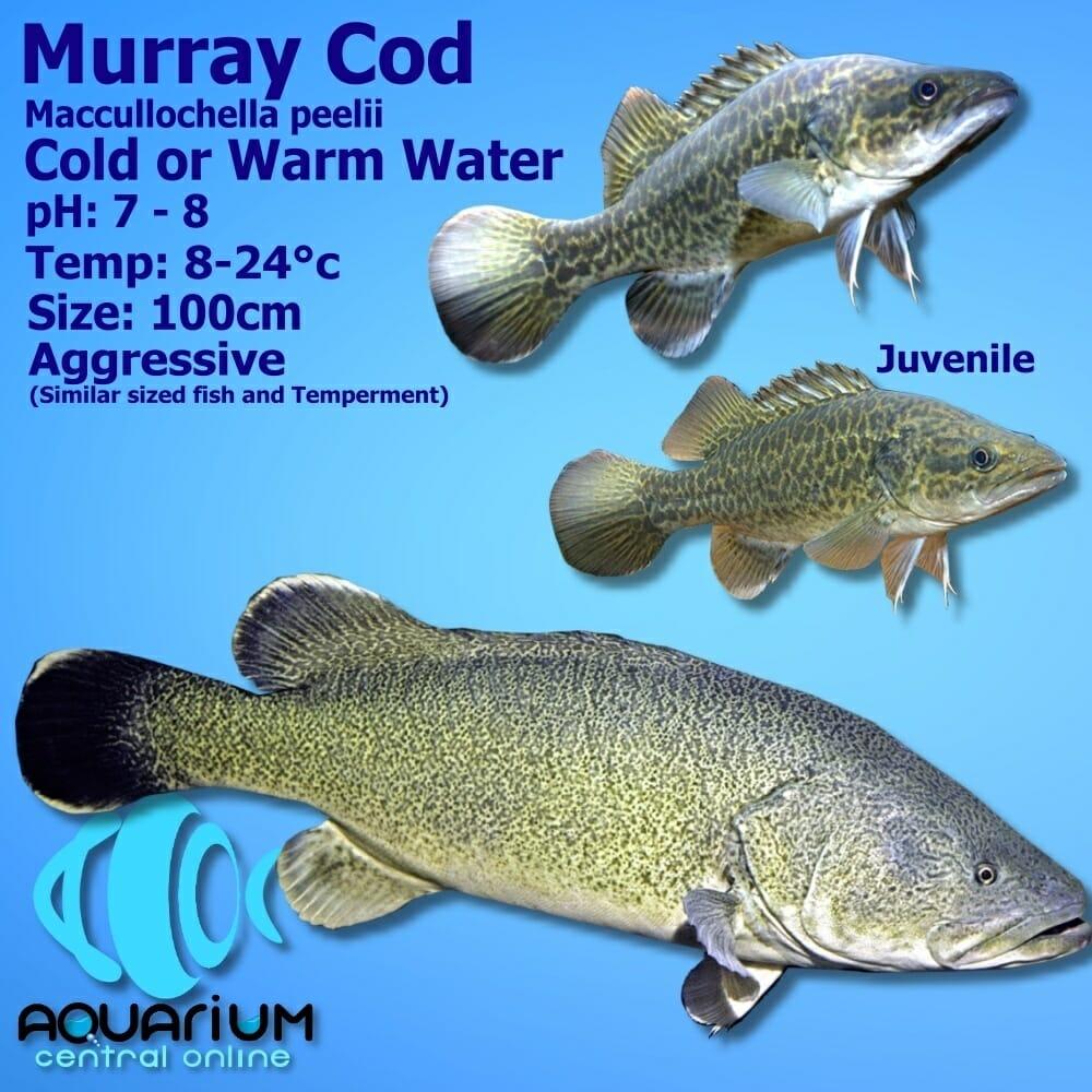 Murray Cod Large Maccullochella Peelii 12cm Aquarium Central