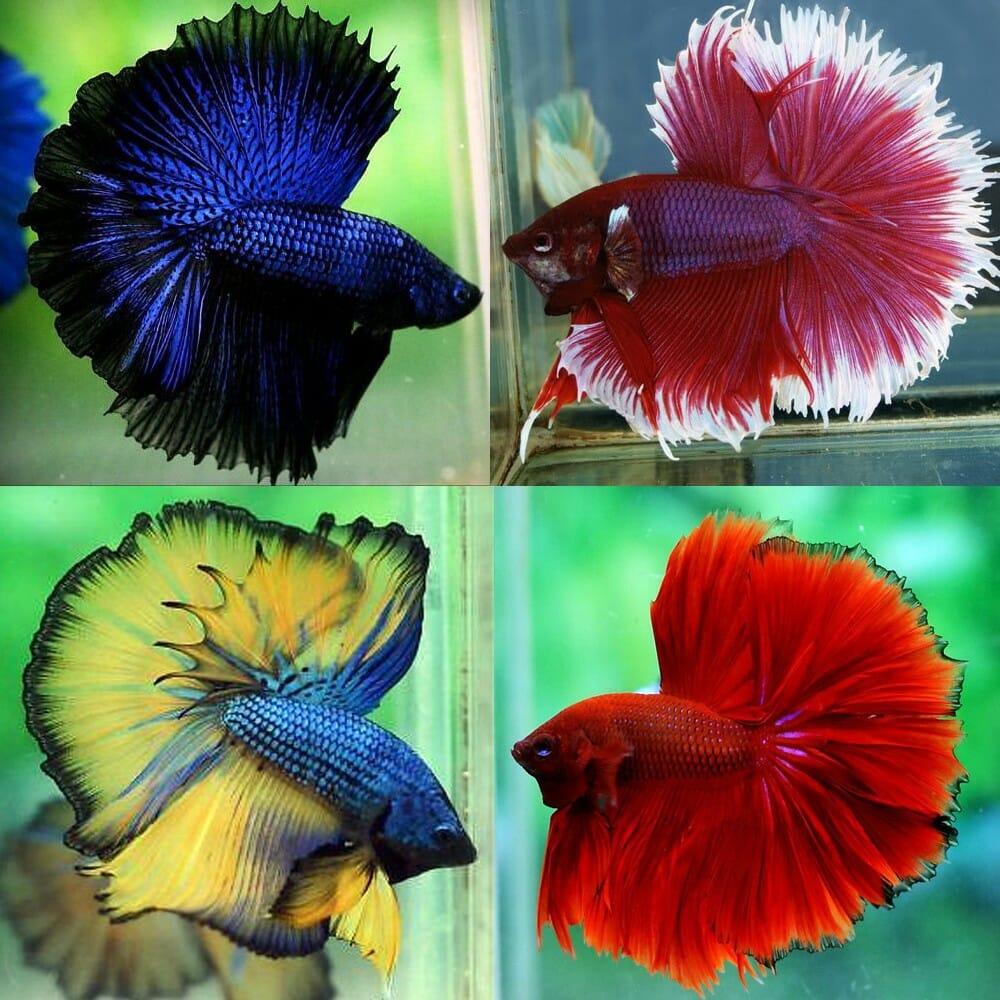 Betta (Siamese Fighting Fish) - Premium Assorted Half Moon Betta - MALE -  Aquarium Central