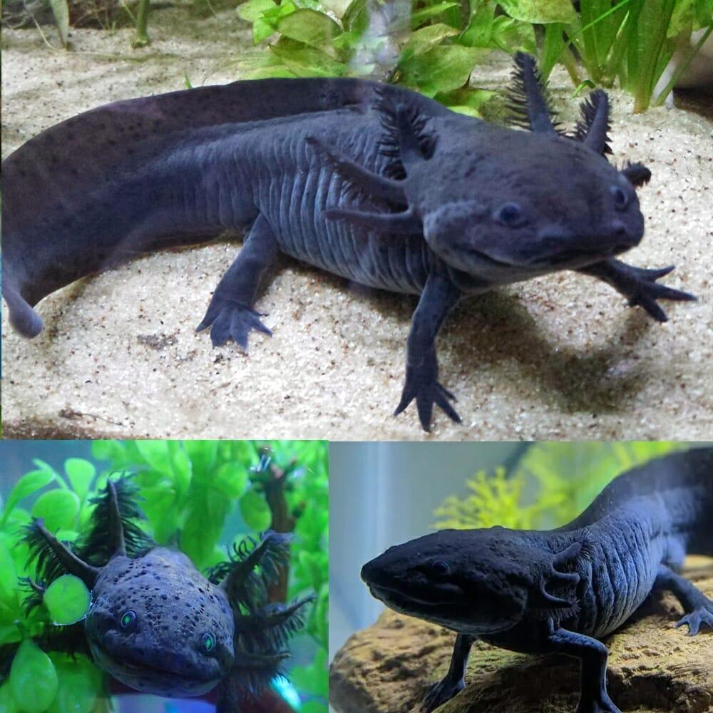 Axolotl - Black (Ambystoma mexicanum) 15cm - Aquarium Central